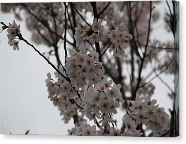 Cherry Blossoms - Washington Dc - 011393 Canvas Print