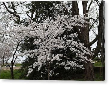 Cherry Blossoms - Washington Dc - 011398 Canvas Print by DC Photographer