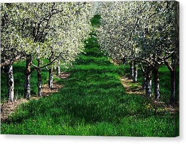 Cherry Orchard Morning Canvas Print by Mary Lee Dereske