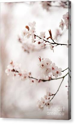 Cherry Plum Blossom Canvas Print by Anne Gilbert
