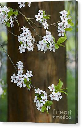 Cherry Plum Tree Blossom Canvas Print