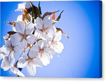 Cherry Tree Blossoms Close Up Canvas Print by Raimond Klavins