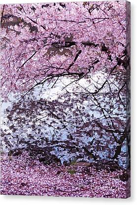 Cherry Tree Branches With Pink Blossom Touching Water Canvas Print by Oleksiy Maksymenko
