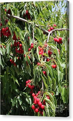 Cherry Tree Canvas Print by Carol Groenen