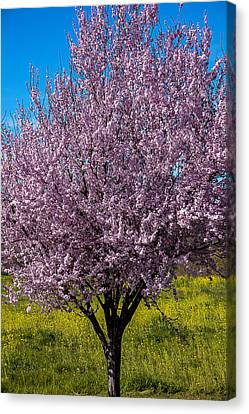 Cherry Tree In Bloom Canvas Print by Garry Gay