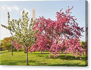 Cherry Trees And Washington Monument Three Canvas Print by Mitchell R Grosky