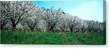 Cherry Trees In A Field Canvas Print by Panoramic Images