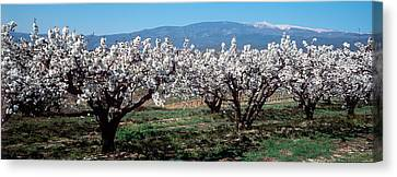 Cherry Trees In A Field With Mont Canvas Print by Panoramic Images