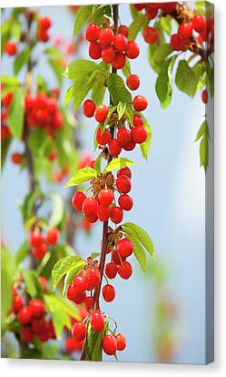 Cherry Trees In An Orchard Canvas Print by Ashley Cooper