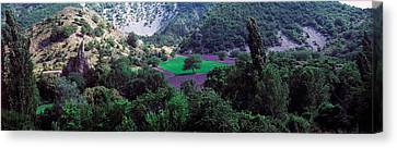 Cherry Trees In Lavender Field Canvas Print