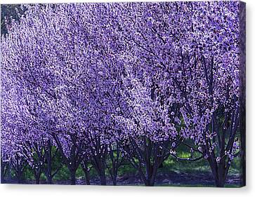 Cherry's In Bloom Canvas Print by Garry Gay