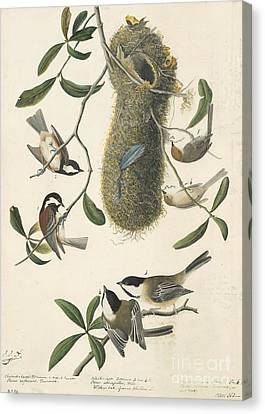 Chestnut-backed Chickadee Canvas Print by Celestial Images