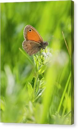 Chestnut Heath Butterfly Canvas Print by Bob Gibbons