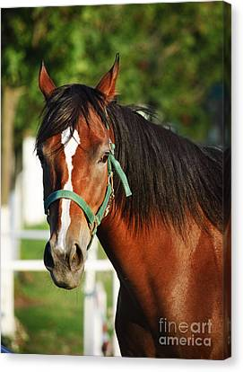 Chestnut Horse Canvas Print
