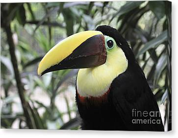 Canvas Print featuring the photograph Chestnut-mandibled Toucan by Teresa Zieba