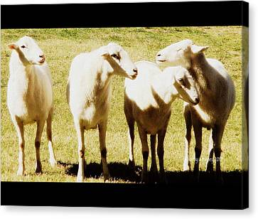 Canvas Print featuring the photograph Cheviot Sheep by Kathy Barney
