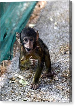 Chewing Baby Monkey Canvas Print