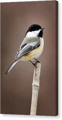 Chickadee Canvas Print by Bill Wakeley