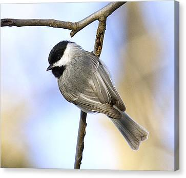 Chickadee Canvas Print by David Lester
