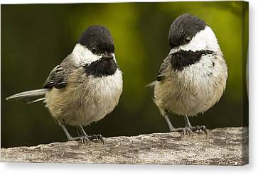 Chickadee Dee Dee Canvas Print by Jean Noren
