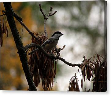 Chickadee In A Tree Canvas Print
