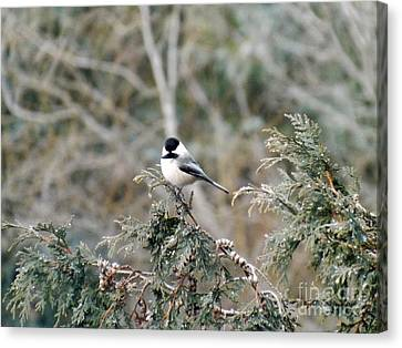 Canvas Print featuring the photograph Chickadee In Cedar by Brenda Brown