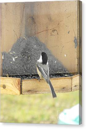 Chickadee Eating Lunch Canvas Print