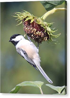 Chickadee On Sunflower Canvas Print by Lucinda VanVleck