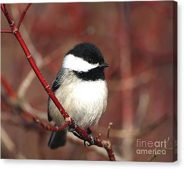 Canvas Print featuring the photograph Chickadee by Susan  Dimitrakopoulos