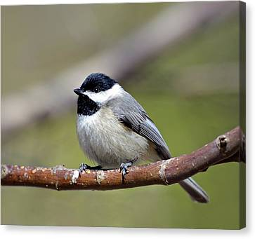 Chickadee Canvas Print by Susan Leggett