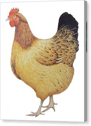 Chicken Canvas Print by Ele Grafton