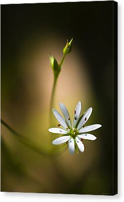 Chickweed Blossom And Bud Canvas Print by Marty Saccone