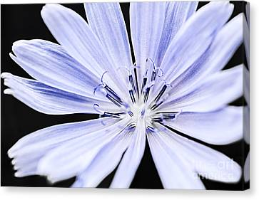 Chicory Flower Macro Canvas Print by Elena Elisseeva