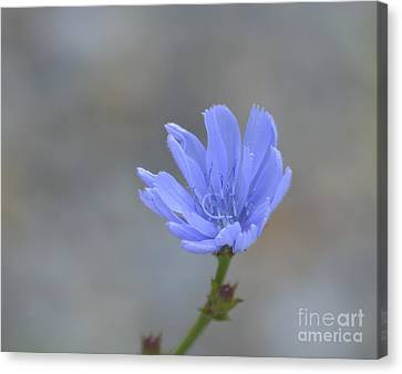 Chicory Canvas Print by Randy Bodkins