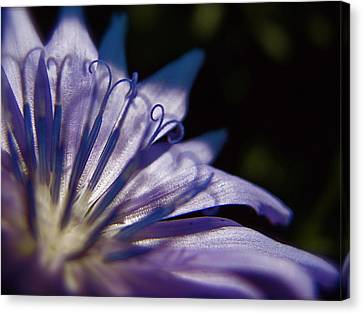 Chicory Canvas Print by Tim Good