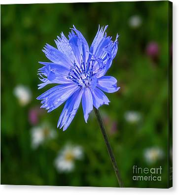 Chicory - Wildflower Canvas Print by Henry Kowalski