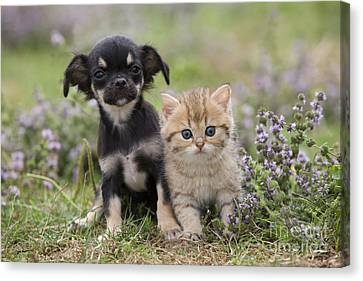 Chihuahua And Kitten Canvas Print