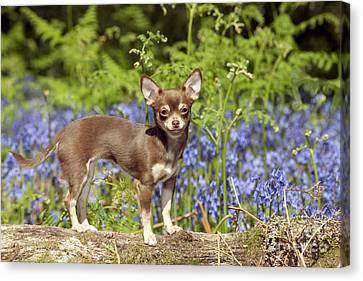 Chihuahua In Bluebells Canvas Print