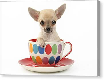 Chihuahua In Cup Dp684 Canvas Print