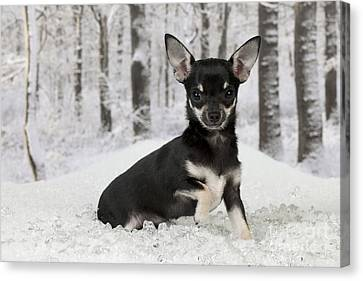 Chihuahua In Snow Canvas Print by John Daniels