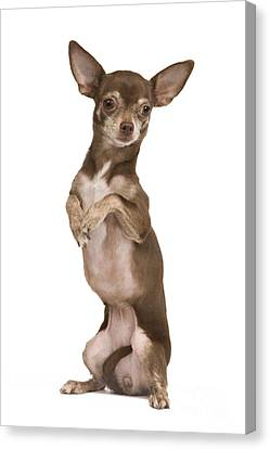 Chihuahua On Hind Legs Canvas Print