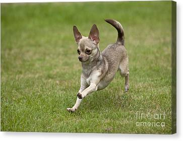 Chihuahua Playing Canvas Print