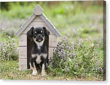Chihuahua Puppy Dog Canvas Print