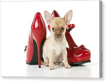 Chihuahua With Shoes Canvas Print
