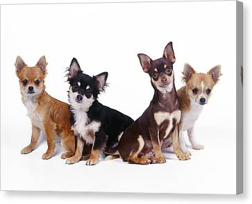 Chihuahuas Dogs Canvas Print