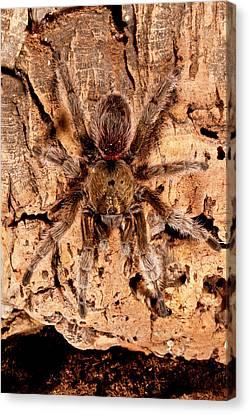 Chilean Beautiful Tarantula, Euathlus Canvas Print