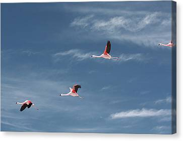 Chilean Flamingos In Flight Canvas Print