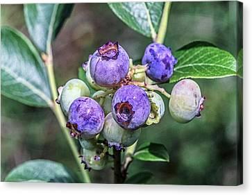 Chilean Guava (ugni Molinae) Fruits Canvas Print