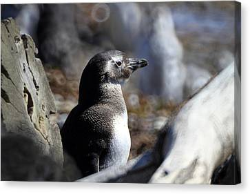 Chilean Penguin Canvas Print by Arie Arik Chen