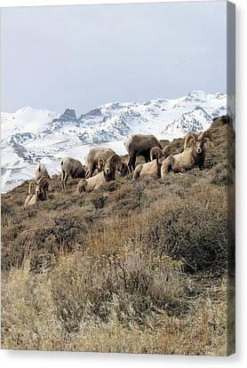 Chimney Rock Rams Canvas Print